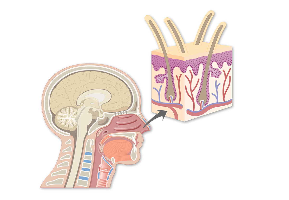 Vestibule Region of the Nasal Cavity