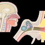 Eustachian Tubes (Auditory Tubes) of the Pharynx