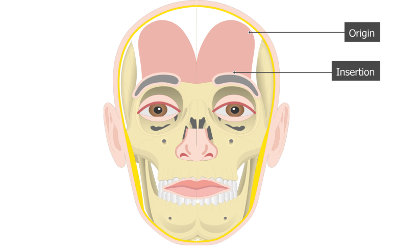 Frontalis Muscle - Origin and Insertion