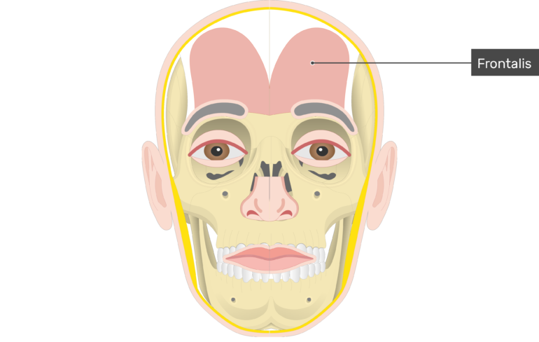 Frontalis Muscle - Attachments, Actions & Innervation