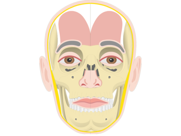 Frontalis muscle - Featured