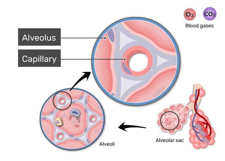 Zoom-in image of respiratory membrane labels: Alveolus and Capillary