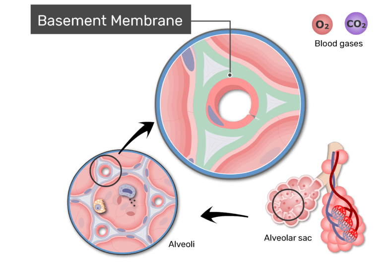Zoom-in image of respiratory membrane with label: Basement membrane
