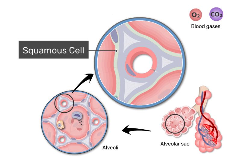 Zoom-in image of respiratory membrane with labels: Squamous cell