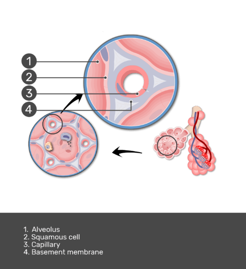 Test yourself with labels: Alveolus, capillary, basement membrane, squamous cell, endothelial cell
