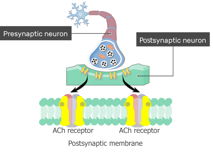 An image showing the status of the gates of ACh receptors on the postsynaptic membrane is being changed (open and close), the postsynaptic membrane and ACh receptors are magnified