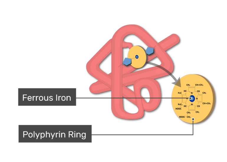 Globin molecule and ferrous iron and polyphyrin ring labeled demonstrated in myoglobin