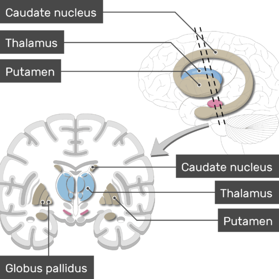 An image showing the Basal Nuclei (Globus pallidus, Putamen, Caudate nucleus, and Thalamus) are labeled, lateral view and coronal section of the brain