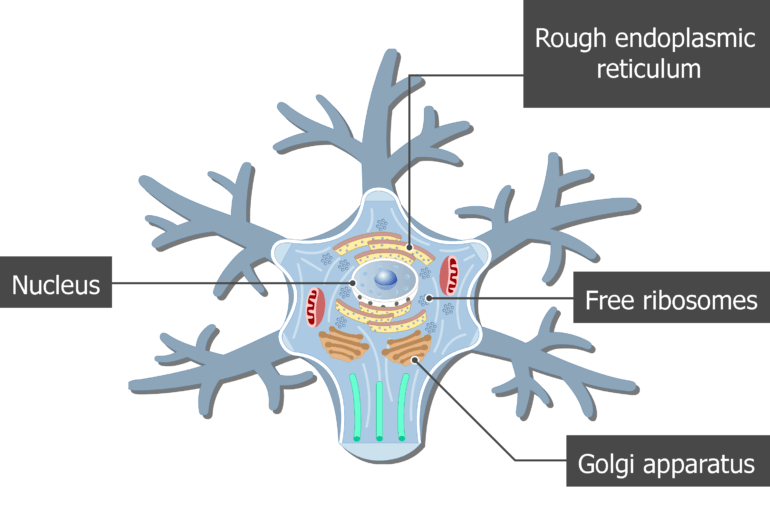 An image showing the neuron cell body and it's structures (Golgi apparatus, Rough endoplasmic reticulum, Free ribosomes and Nucleus) are labeled