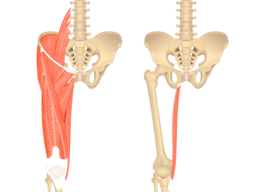 An image showing the bony elements of lower spinal column, pelvis and femur with muscles of anterior thigh on the left and the same bony elements with isolated gracilis on the right.