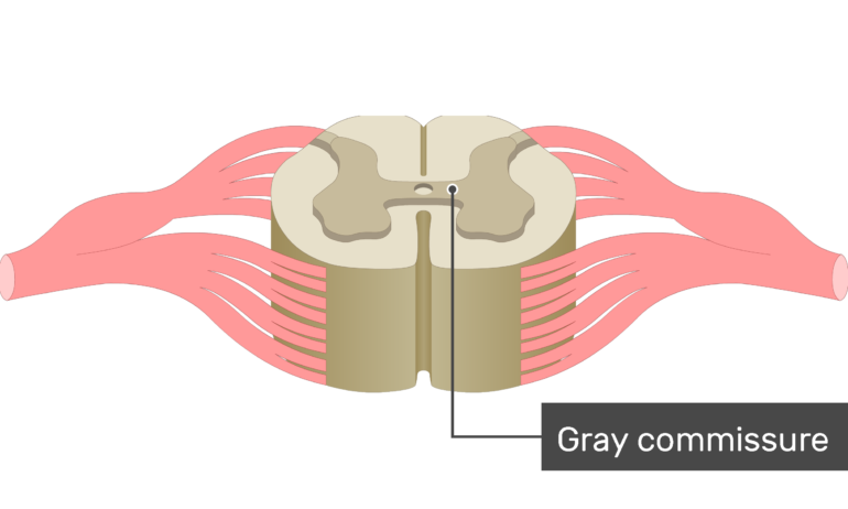An image showing the Gray commissure of the gray matter of a spinal cord segment
