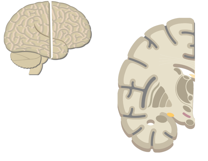 An image showing the Lateral view of the right hemisphere and Coronal view of the right hemisphere