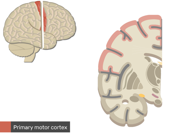 An image showing the Primary Motor Cortex highlighted and labeled, Lateral view of the right hemisphere and Coronal view of the right hemisphere