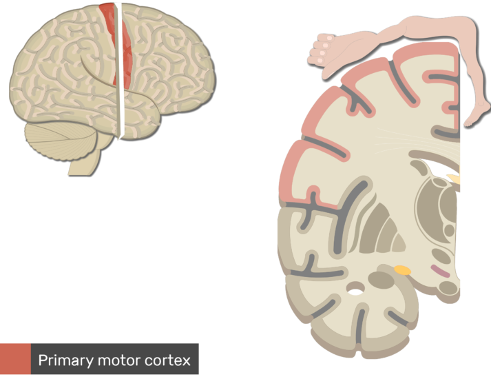 An image showing the Primary Motor Cortex (highlighted and labeled) controlling feet,legs,trunk and hands, Lateral view of the right hemisphere and Coronal view of the right hemisphere