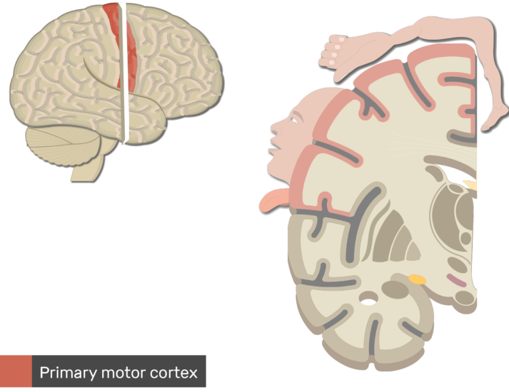 An image showing the Primary Motor Cortex (highlighted and labeled) controlling feet,legs,trunk, hands, head, mouth and throat, Lateral view of the right hemisphere and Coronal view of the right hemisphere