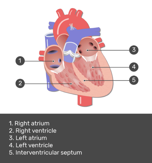 Test yourself image for the interior view of the heart with answers shown.