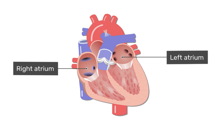 Labelled image of the right and left atrium in the interior of the heart.