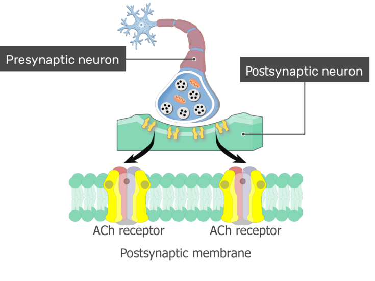 An image showing sodium (Na) and Potassium (K) ions moving through ACh channels, the postsynaptic membrane and ACh receptors are magnified