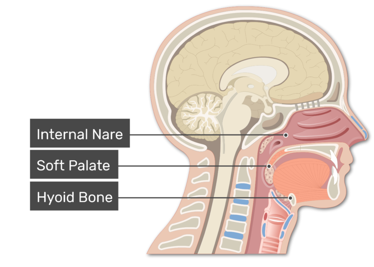 Sagittal view of the head and neck demonstrating pharynx anatomy with labels: Cranial nare, soft palate, hyoid bone