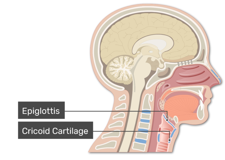 Sagittal view of the head and neck demonstrating pharynx anatomy with labels: Epiglottis and cricoid cartilage