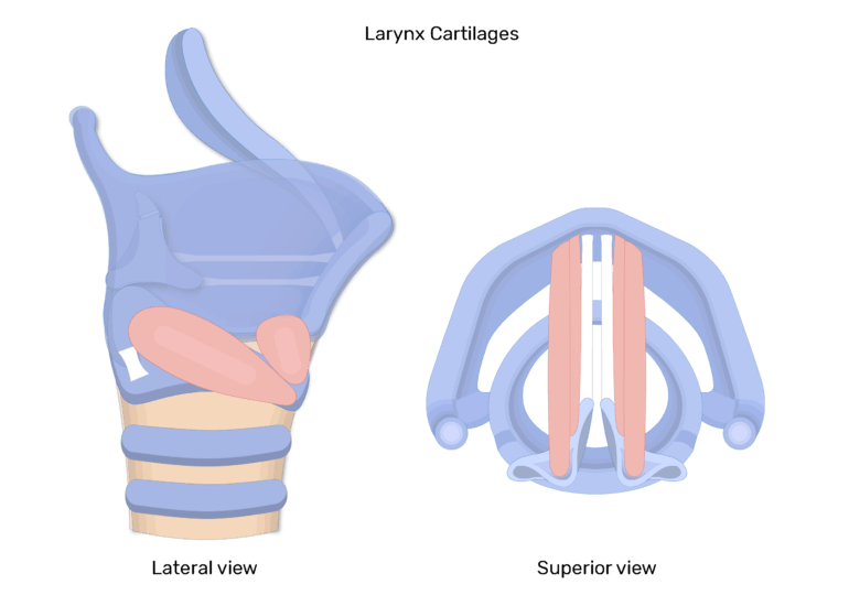 The lateral and superior view of the larynx and its intrinsic muscles