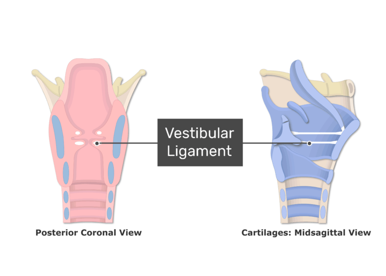Posterior and Midsagittal View of Larynx