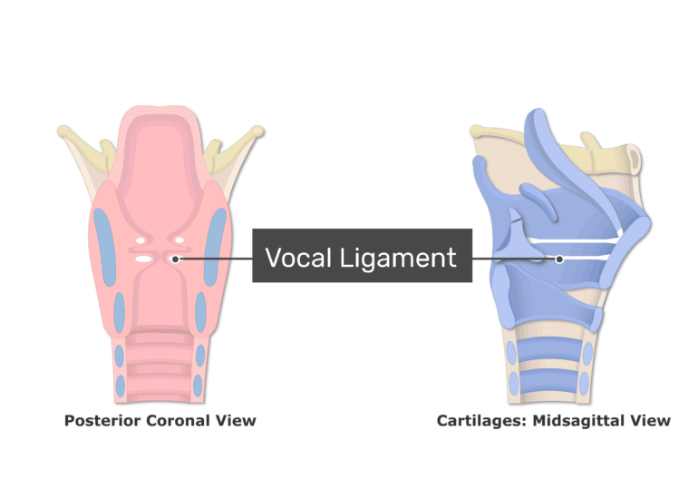 Posterior and Midsagittal View of Larynx and vocal ligament labeled