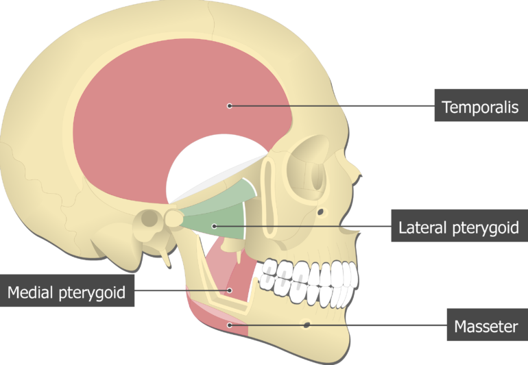 Lateral Pterygoid Muscle attached to the skull with other mastication muscles