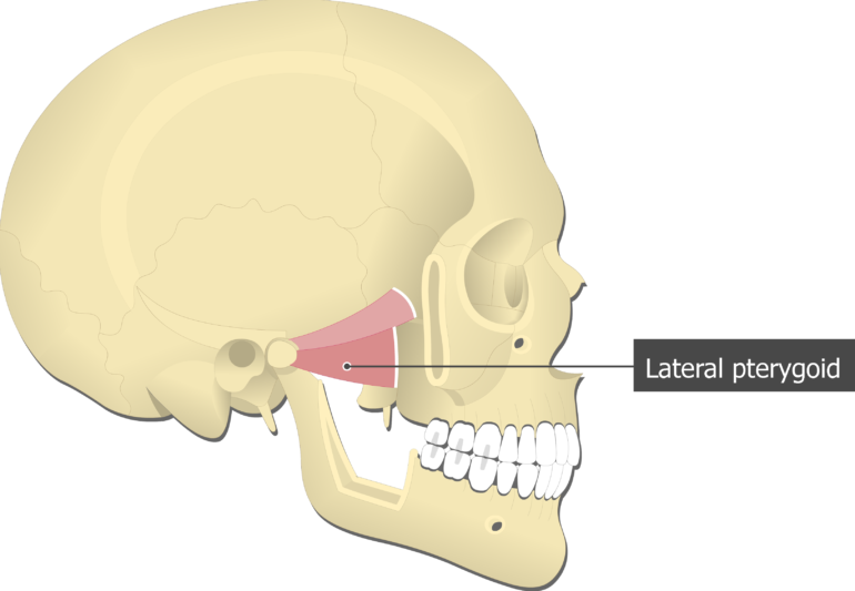 Lateral Pterygoid Muscle attached to the skull