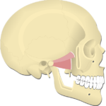 Lateral Pterygoid Muscle - Featured