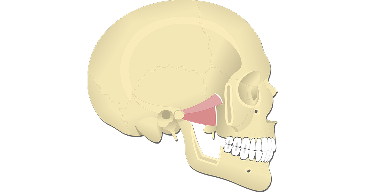 Lateral Pterygoid Muscle - Attachments, Actions & Innervation