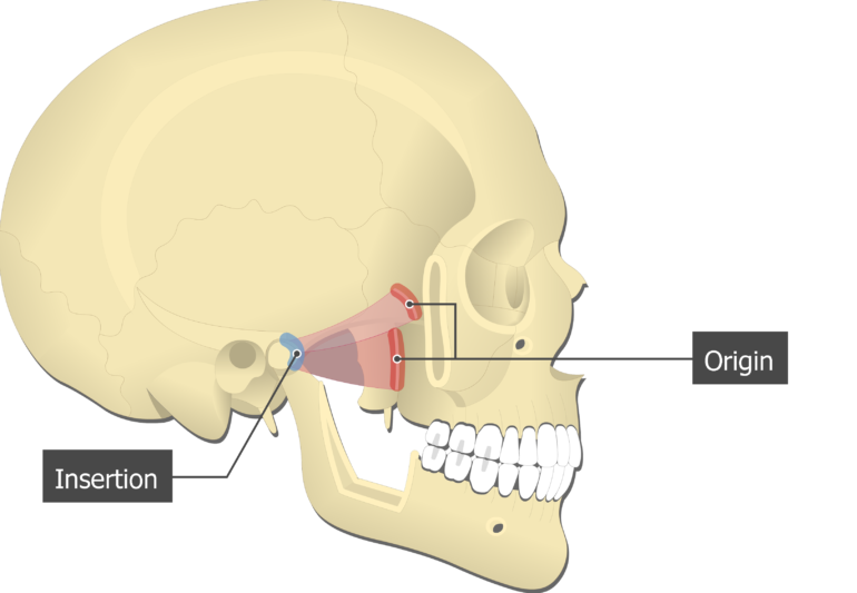 Lateral Pterygoid Muscle - Origin and Insertion