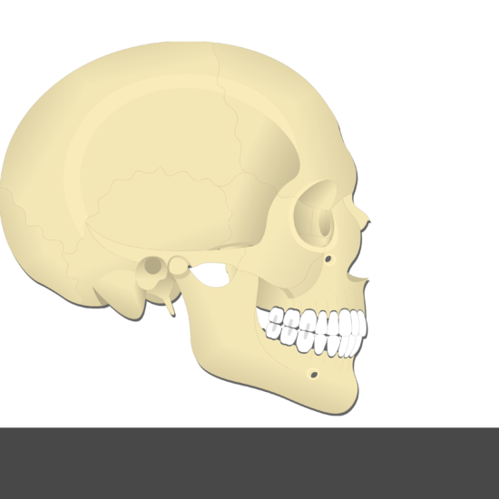 Lateral Pterygoid Muscle - Test yourself 10