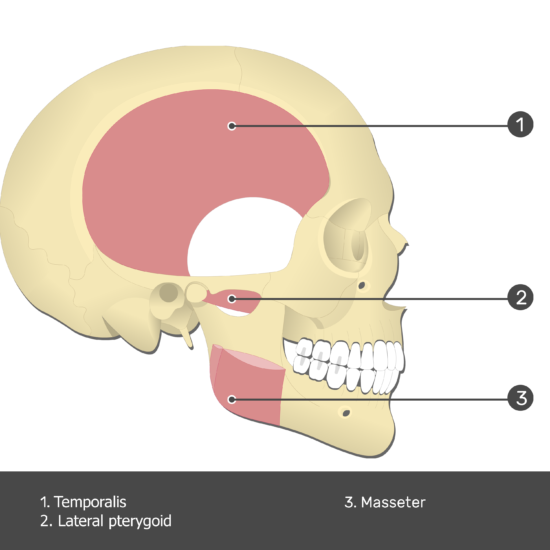 Lateral Pterygoid Muscle - Test yourself 2