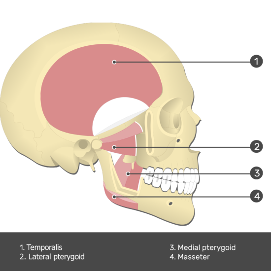 Lateral Pterygoid Muscle - Test yourself 5