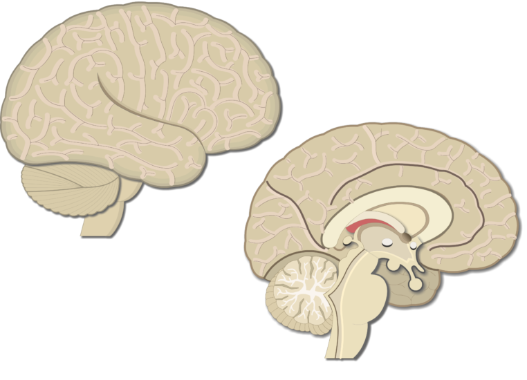 An image showing the lateral view of the right hemisphere and medial view of the left hemisphere