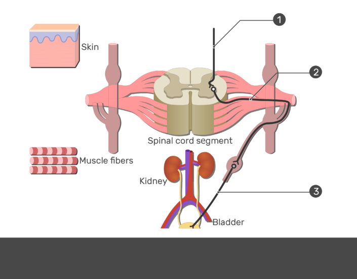 Test yourself image showing the pathway of the lateral horn of the spinal cord using 1. Descending autonomic neuron 2. Presynaptic neuron 3. Postsynaptic neuron numbered without answers