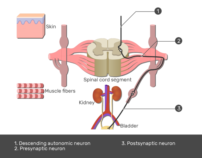 Test yourself image showing the pathway of the lateral horn of the spinal cord using 1. Descending autonomic neuron 2. Presynaptic neuron 3. Postsynaptic neuron numbered with answers below
