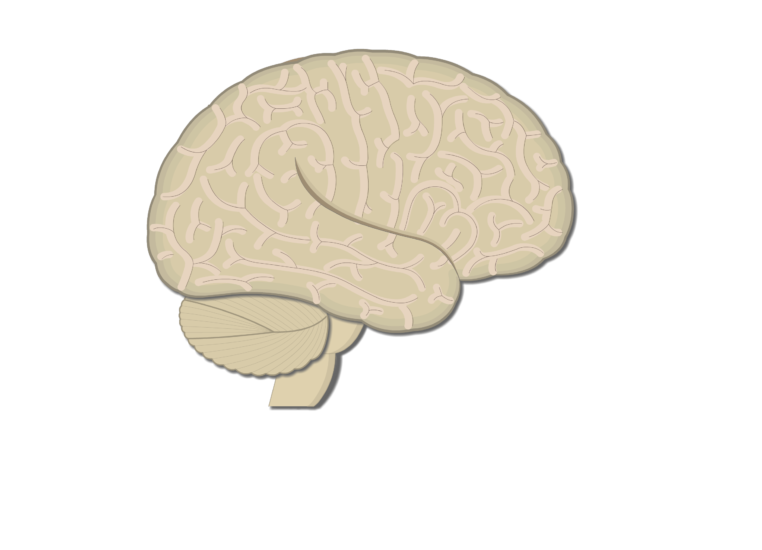 An image showing the lateral view of the right hemisphere