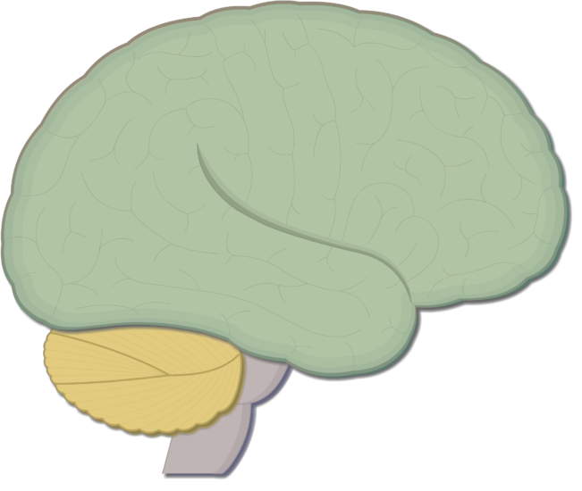 An image showing the lateral view of the brain