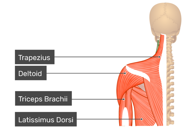 Posterior view labeled: Trapezius, deltoid, triceps brachii, latissimus dorsi