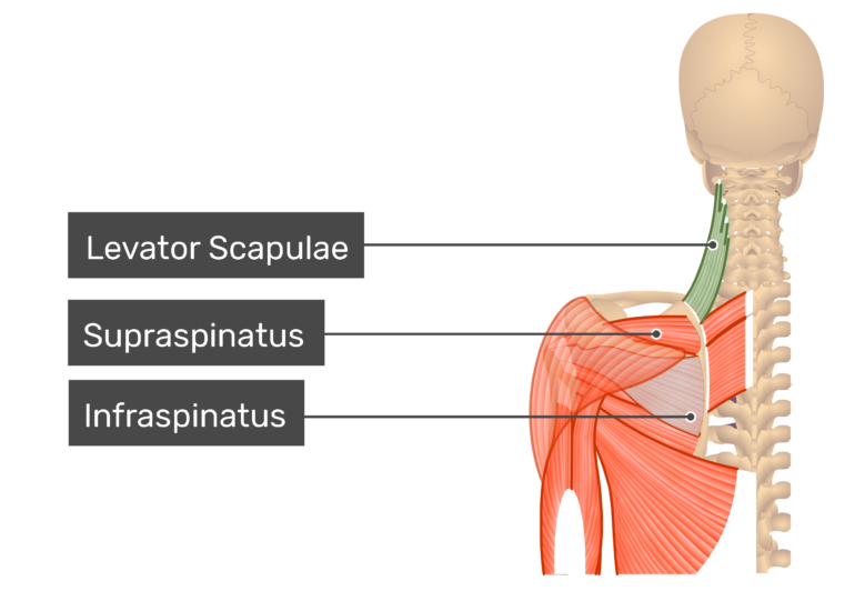 Posterior view labeled: Levator scapulae, infraspinatus, supraspinatus