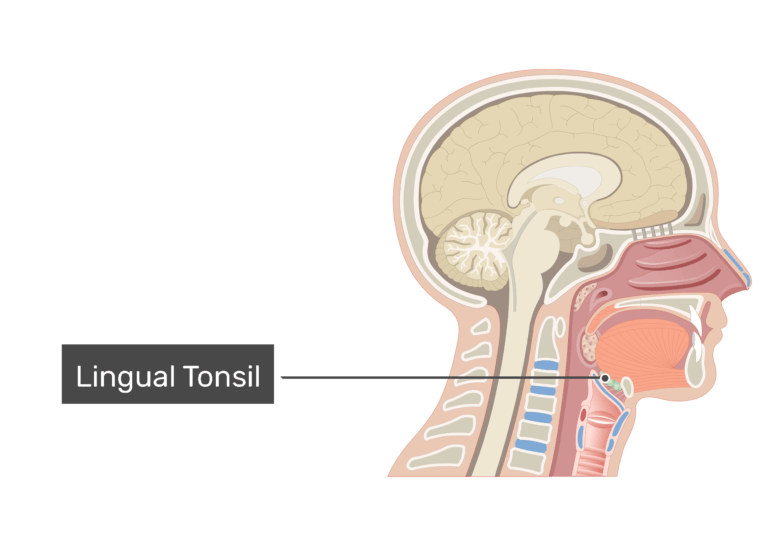 Sagittal view of the head and neck demonstrating the tonsils with label:: lingual tonsil