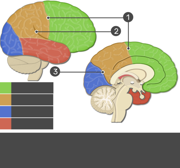 An image showing Frontal lobe, Parietal lobe, Occipital lobe, Temporal lobe, Central sulcus, Lateral fissure and Parieto-occipital fissure numbered and not labeled
