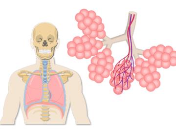 Lung anatomy and alveolus