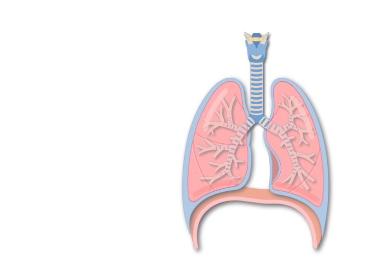 Secondary bronchus of the lung