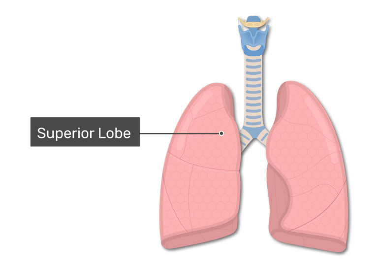 The superior lobe of the lungs labeled