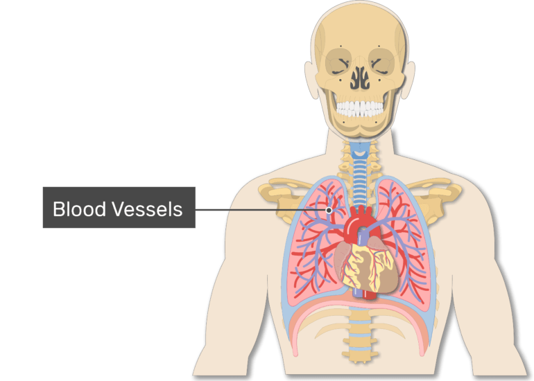 Blood vessels labeled