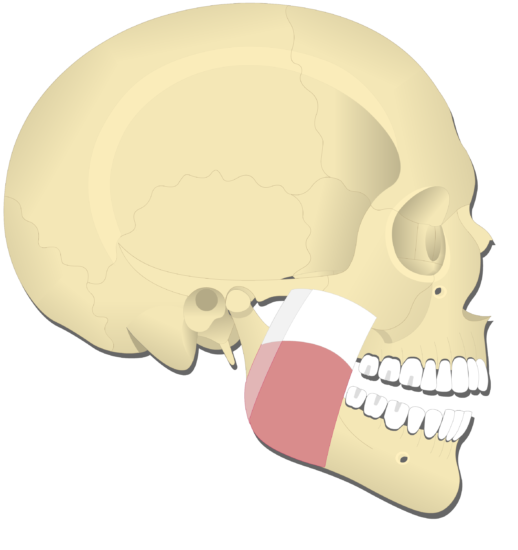 Mandible elevation (4)