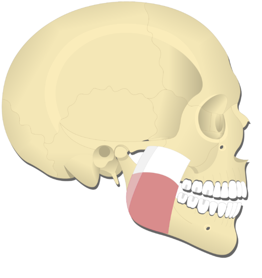 Mandible elevation (5)